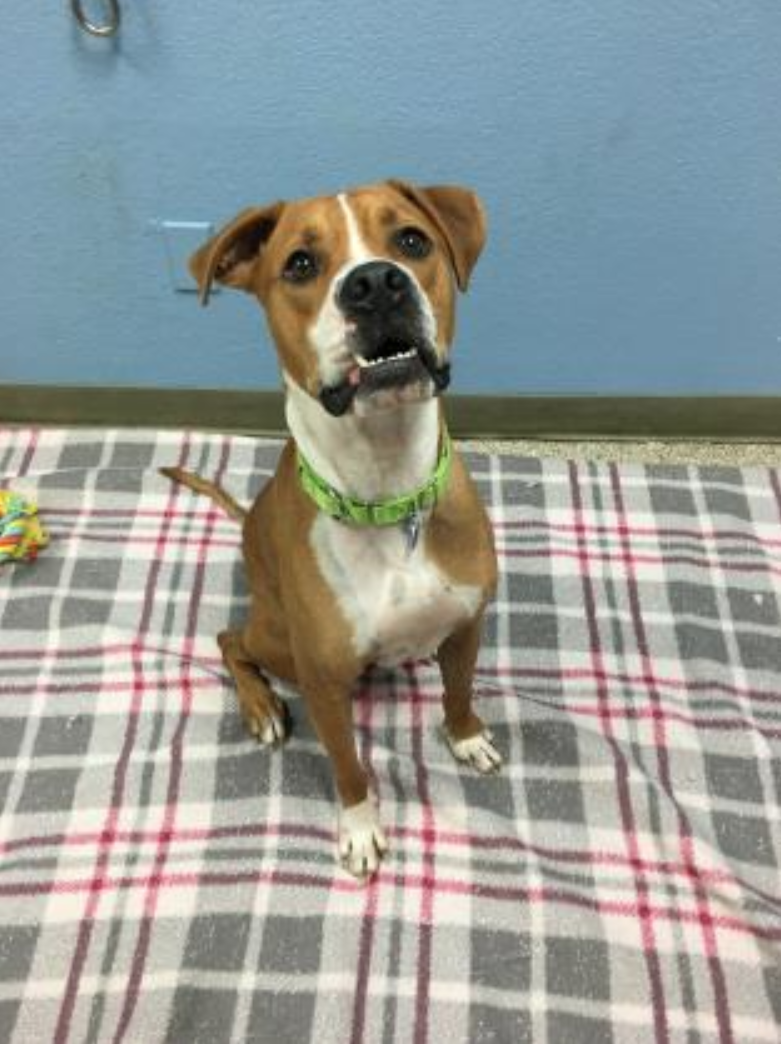 <p>Bradley is a fun Boxer Mix ready to meet his new family! This sweet 2-year-old will wiggle his way right up into your heart. Bradley can be a bit on the bouncy side at times, and may be better suited with kids over 7 who can keep up with him. More info at pawws.org. (Image: PAWS)</p>