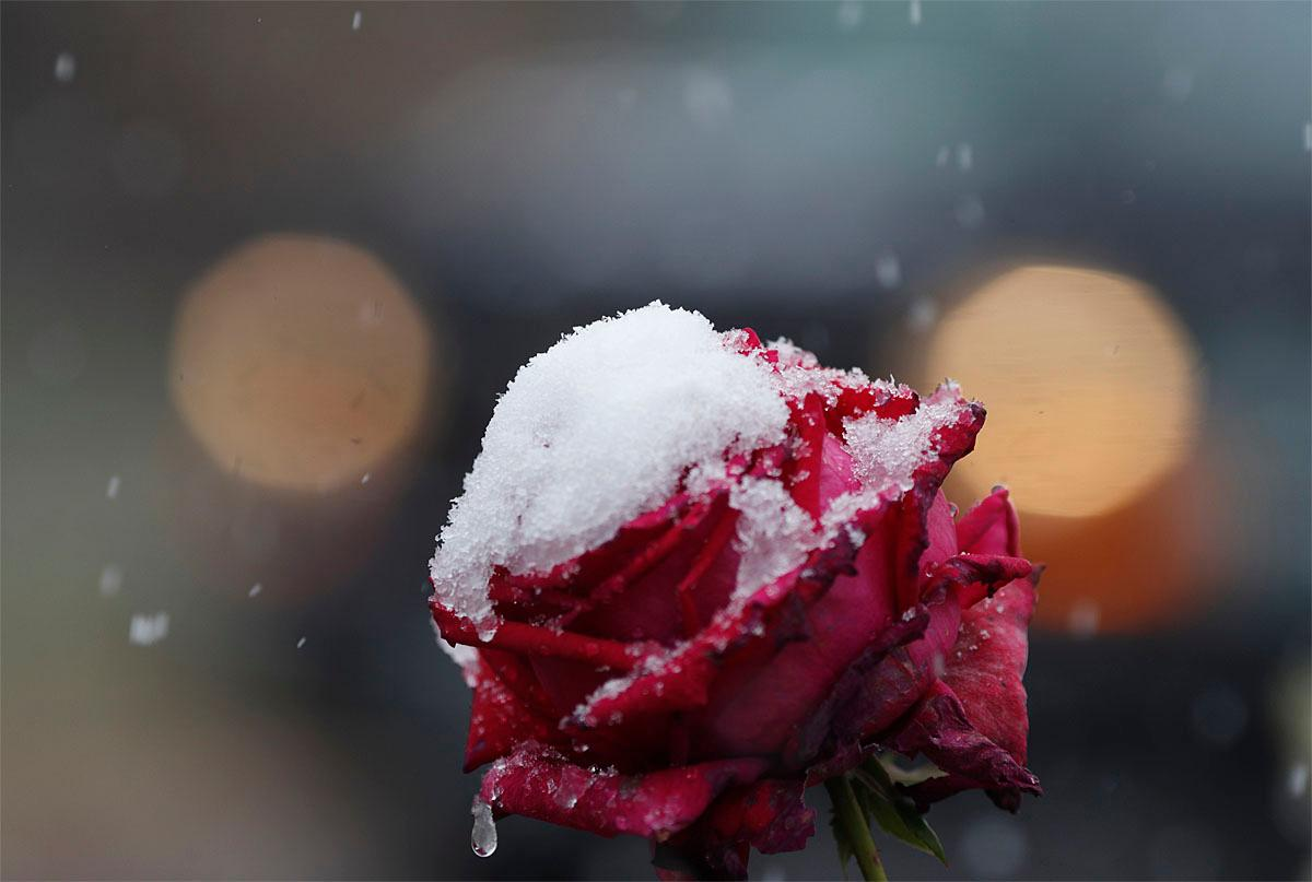 Snow coats the petals of a rose as a weak, autumnal storm sweeps over the intermountain West, Thursday, Nov. 17, 2016, and leaves a dusting of snow in Denver. The fast-moving storm is predicted to drop up to a foot of snow in the upper reaches of Minnesota. (AP Photo/David Zalubowski)