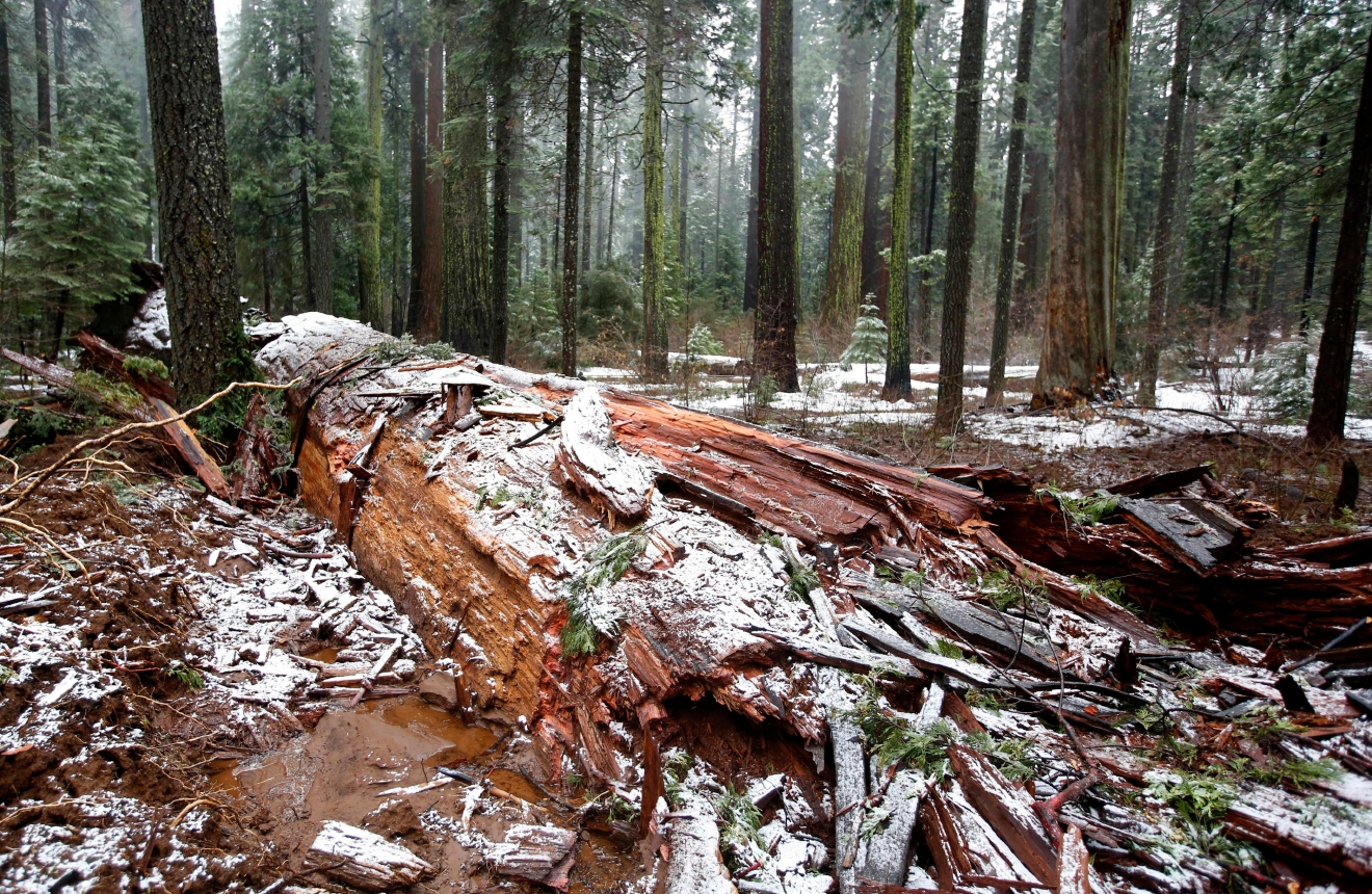 "Snow partially covers the fallen Pioneer Cabin Tree at Calaveras Big Trees State Park, Monday, Jan. 9, 2017, in Arnold, Calif. Famous for a ""drive-thru"" hole carved into its trunk, the giant sequoia was toppled over by a massive storm Sunday. (AP Photo/Rich Pedroncelli)"