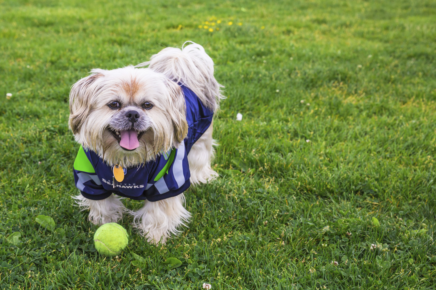 Meet, Elvis! Elvis is a 5-year-old Shih Tzu who is living the dream here in Seattle. He loves people, especially kids and doesn't like crow or squirrels.{ }The Seattle RUFFined Spotlight is a weekly profile of local pets living and loving life in the PNW. If you or someone you know has a pet you'd like featured, email us at hello@seattlerefined.com or tag #SeattleRUFFined and your furbaby could be the next spotlighted! (Image: Sunita Martini / Seattle Refined).