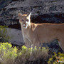Mountain lion spotted in Park City
