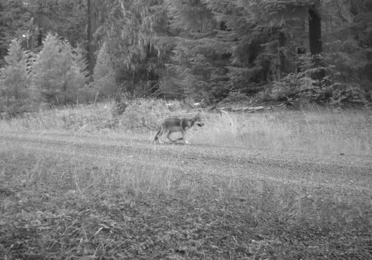 Wildlife cameras in the Rogue River-Siskiyou National Forest have confirmed that OR-7 has sired at least two pups this year. This is one of them. Photo courtesy of U.S. Fish and Wildlife Service.
