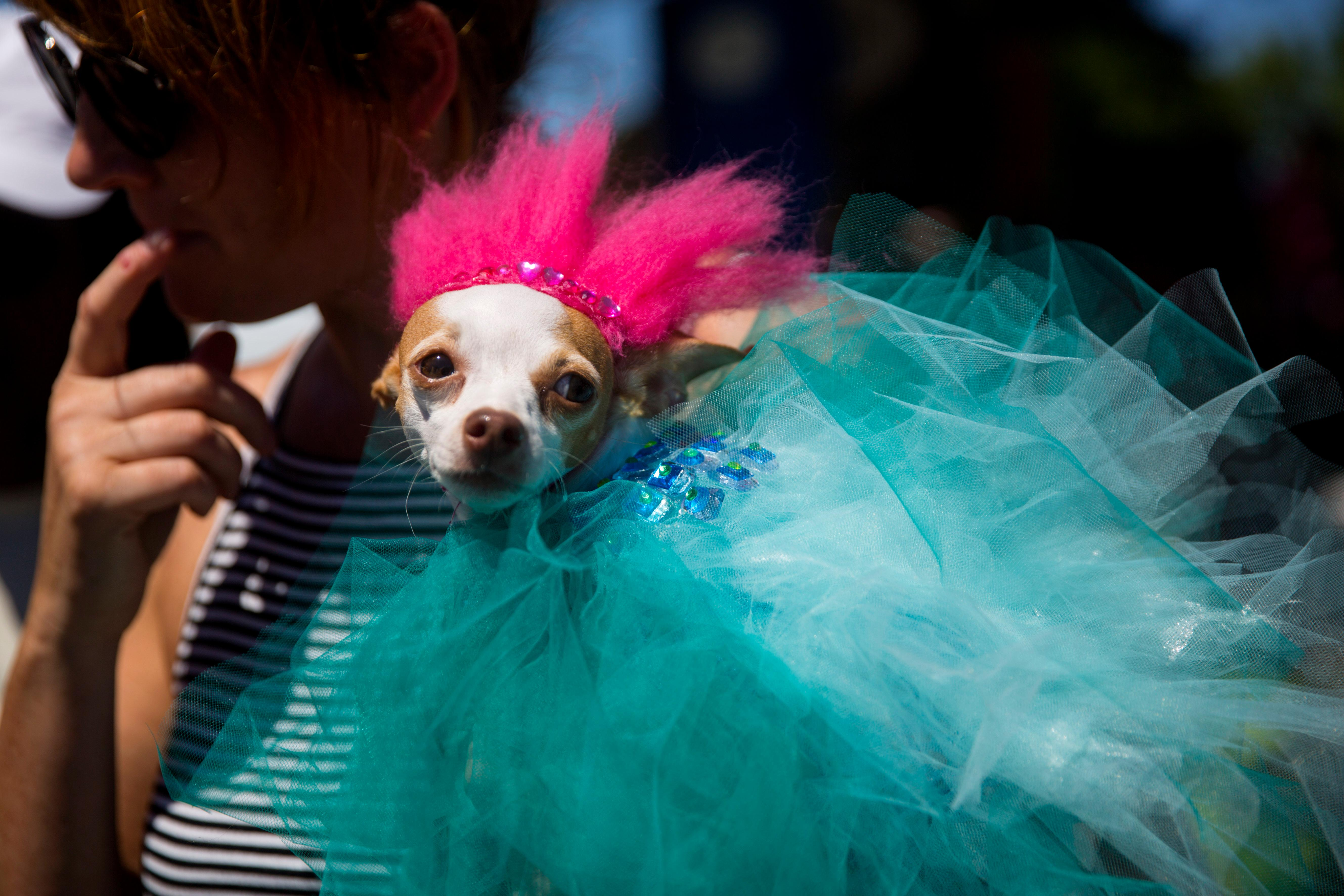 The Seattle PrideFest is here, which also means we get to see the Doggie Drag Contest! Over 30 pups dressed in drag and were judged by real life drag queens. Seattle Humane partnered up with PrideFest to put on this event which raised funds for Pet Project, an offshoot of the Pet Food Bank, which provides services to more than 200 pets belonging to low-income individuals living with HIV/AIDS or cancer. Pet Project matches volunteers one-on-one with clients to help them with their basic pet care needs on a monthly basis and enable clients to keep their pets. (Sy Bean / Seattle Refined)