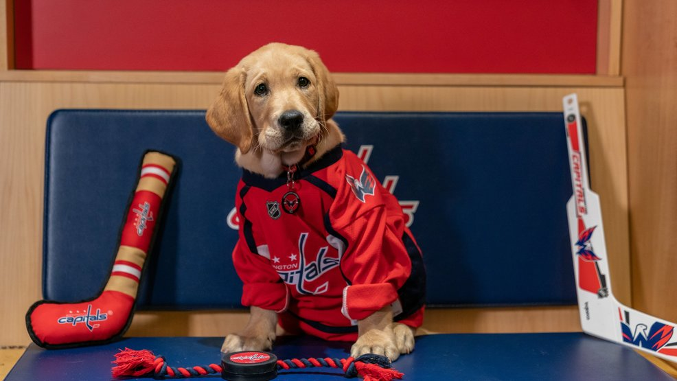 Meet Captain! He is the Washington Capitals new service dog and he's pretty cute