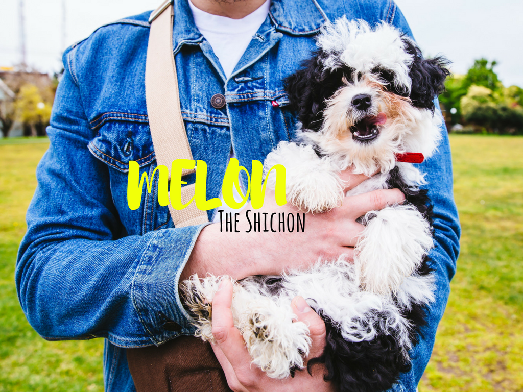 "Everyone say, ""Hi Melon!"" How cute it this Shichon? (Shichon: Shih Tzu/Bichon Mix). Melon is a four-months-young and lives the high life in Capitol Hill! Melon likes batting her paws, sleeping on piles of clothes and blankets and playing with huge dogs. She dislikes pigeons (don't we all), loud cars, and kitchen timers. (Image: Sunita Martini / Seattle Refined)"