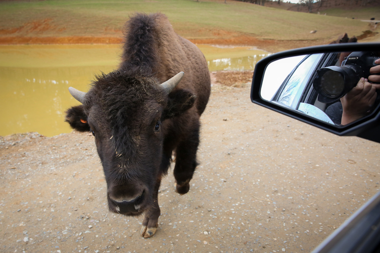 Fun fact: Bison will slobber on your car. (Amanda Andrade-Rhoades/DC Refined)<p></p>