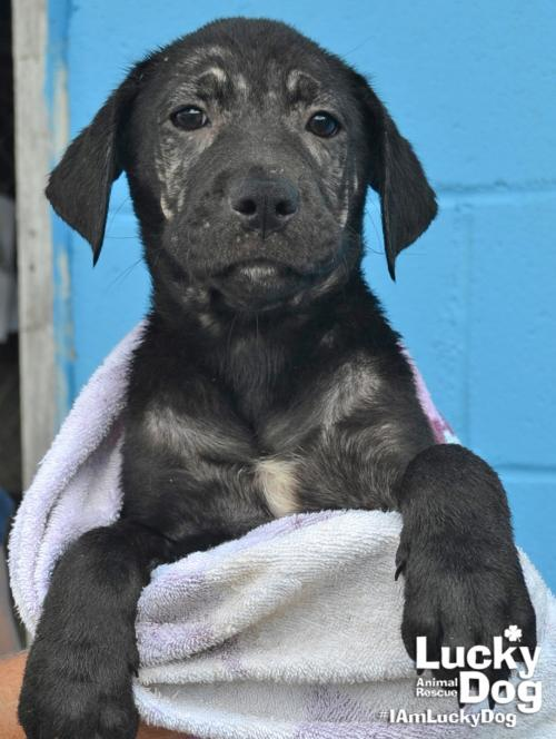Cinder{ } is a 10-week-old, 10-pound black lab mix who was evacuated before the storm from{ }Florence, South Carolina. If you are interested in adopting Cinder, you can meet her{ }Sunday (September 16) from 12-2 pm at the Kentlands PetSmart in Gaithersburg, MD. (Image: Courtesy Lucky Dog Animal Rescue){ }