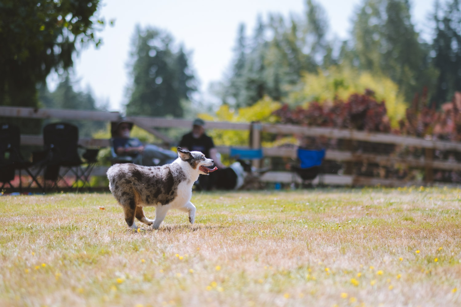 Owners and their corgis came out in droves to the 2019 Pacific Northwest Corgi Picnic in Woodinville, WA. Kathy and Leo Notenboom host the annual event at their home, which raises funds for CorgiAid, a not-for-profit corgi assistance organization. (Ryan McBoyle/ Seattle Refined)