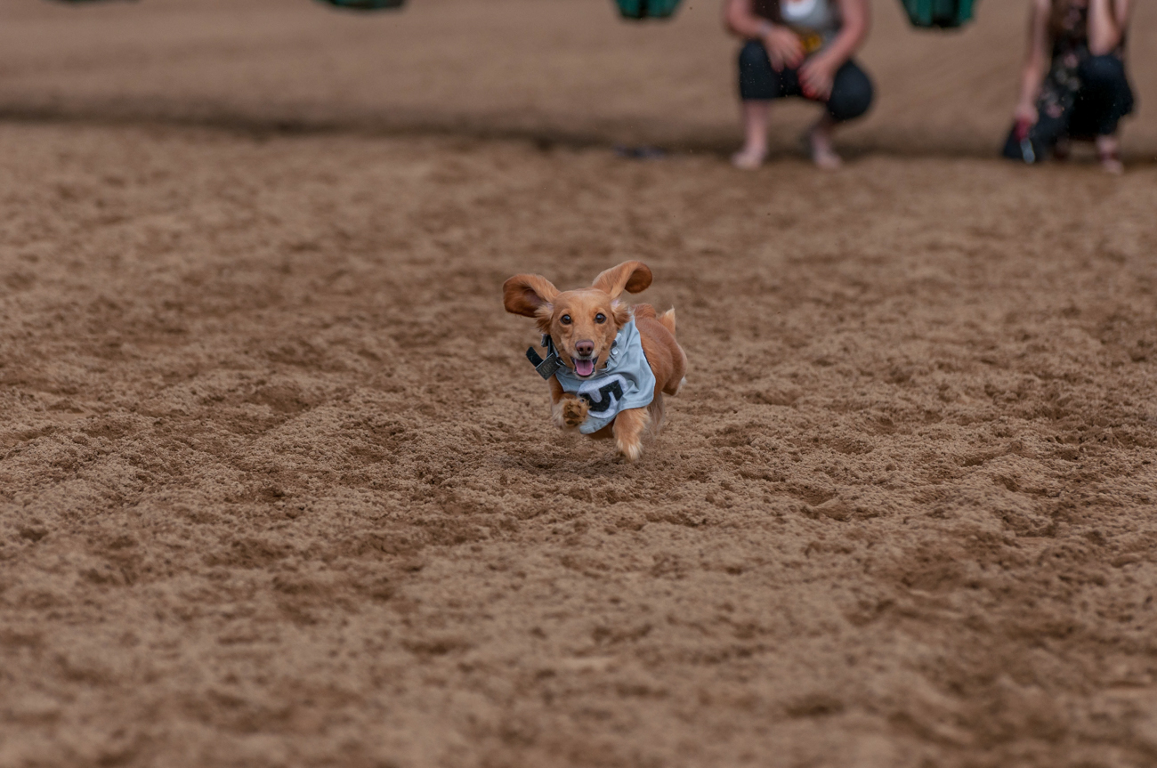 "Gallery: ""These Puppers Racing At Belterra's Dog Days Of Spring Are Doggone Cute"" / Image: Mike Menke // Published: 12.31.17"