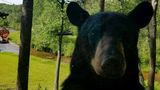 Gallery: Bear sightings in northern Michigan