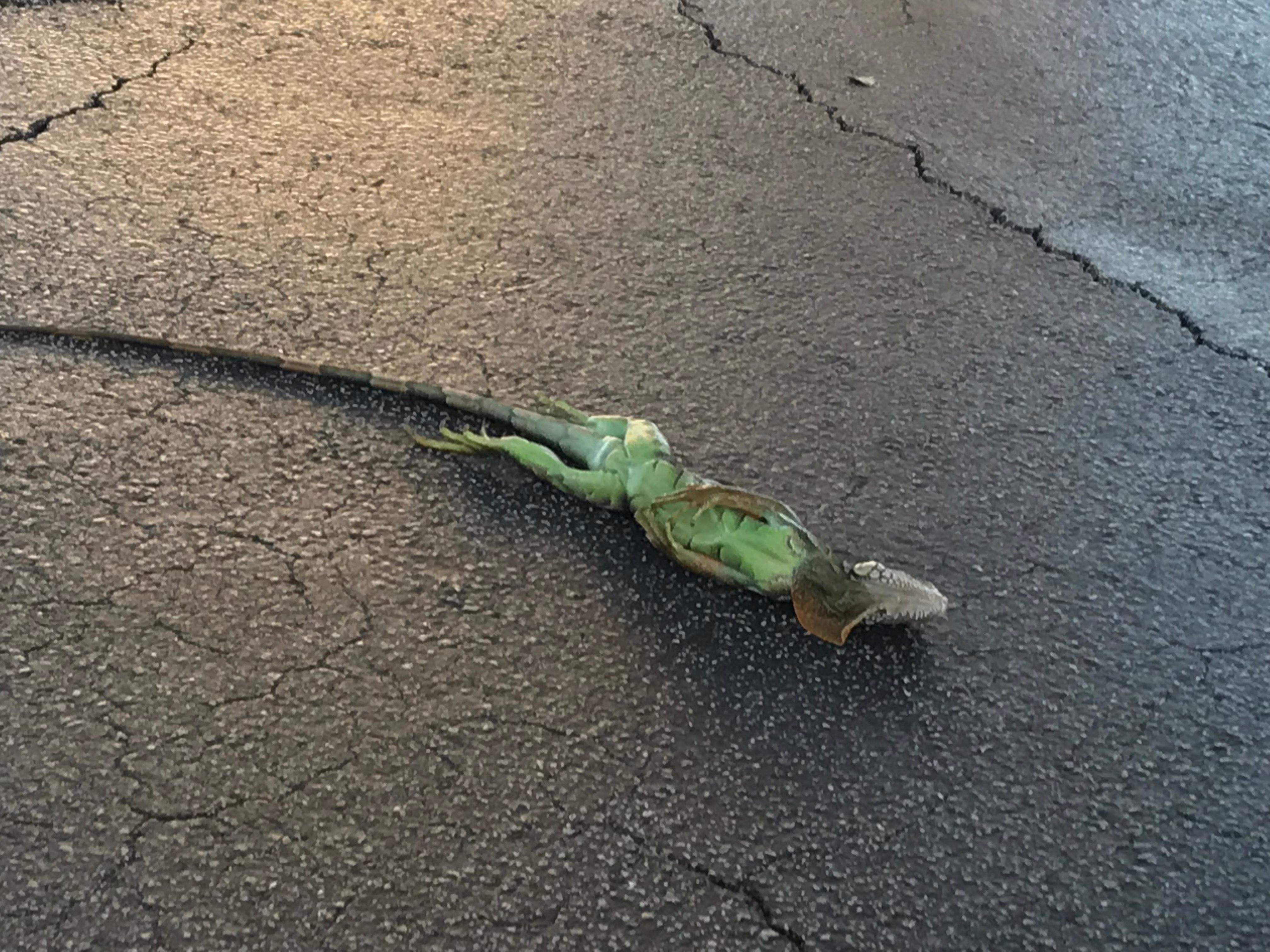 Gallery: Iguanas falling just like the temperature. ((WPEC)