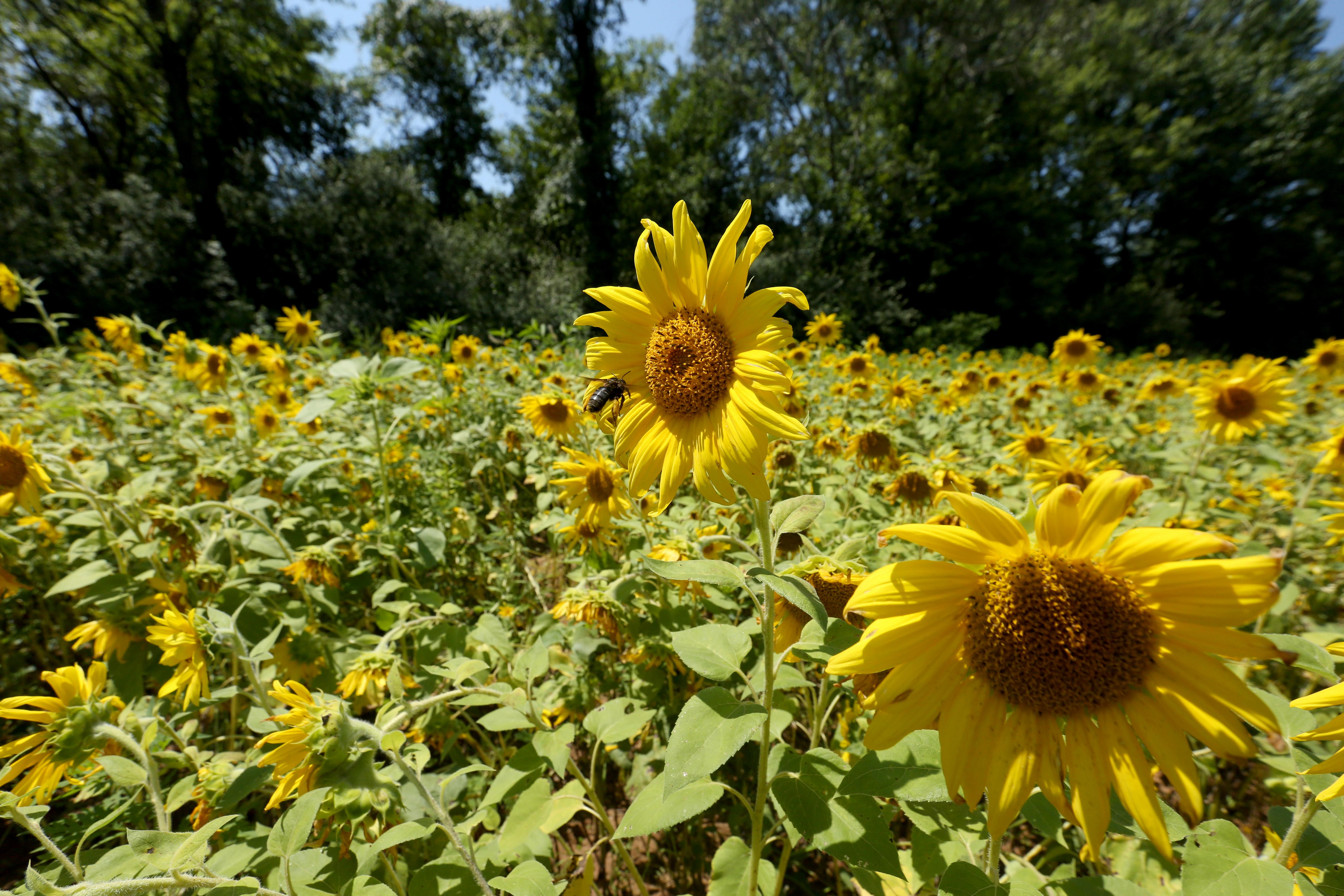 Tucked down River Road in Poolesville, Maryland, lies 30 acres of gloriously bright sunflowers.  The  McKee-Beshers Wildlife Management Area planted the sunflowers to support the local fauna, but visitors have been flocking to the area to snap a few pics while the fields are in bloom. Although some of the sunflowers are starting to droop a little, you still have maybe a week before this stunning annual display goes away. (Amanda Andrade-Rhoades/DC Refined)