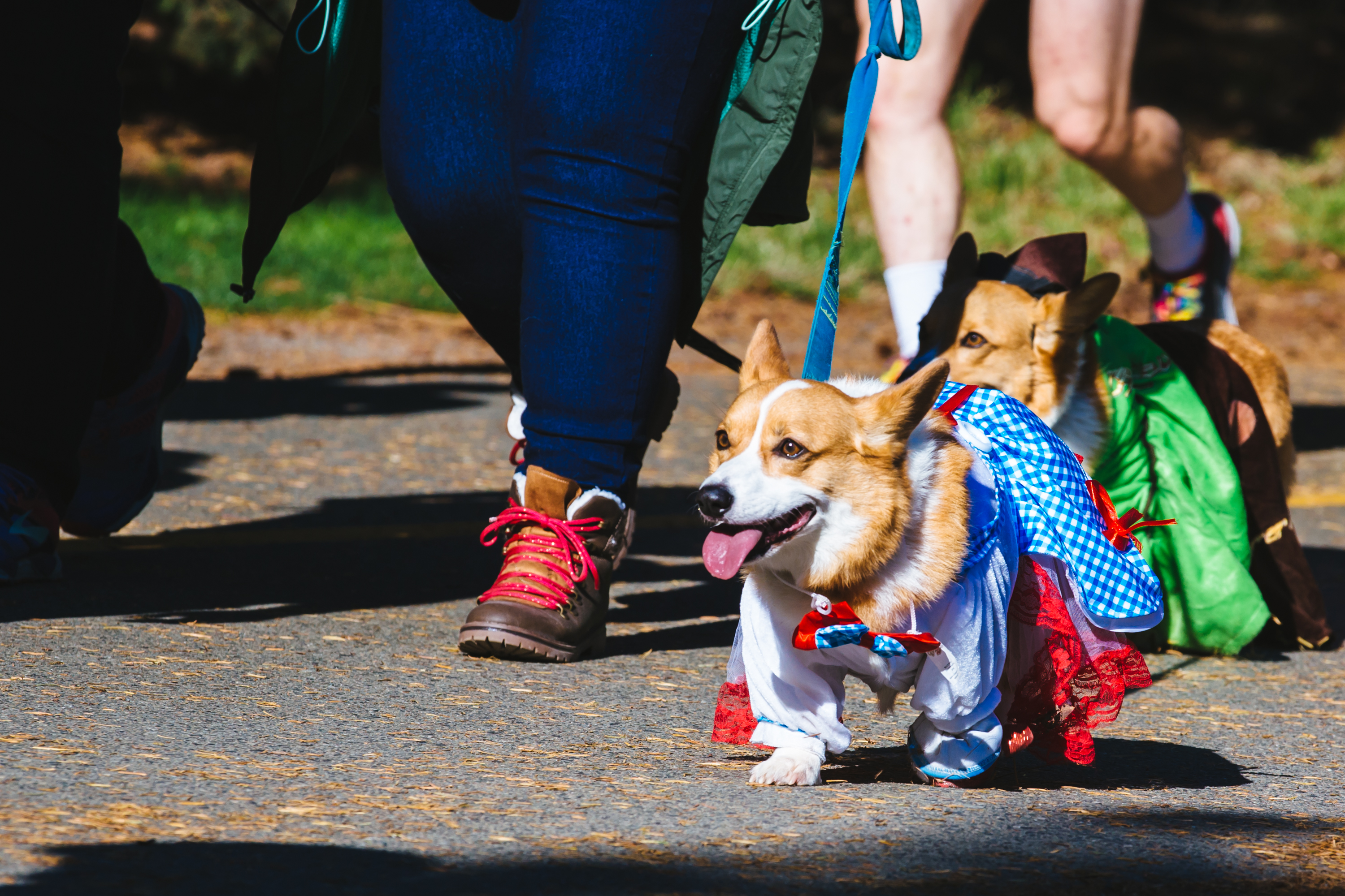 Hundreds of people and their furry corgi friends came out to Green Lake for the Annual Corgi Howl-O-Ween Walk. Corgis were dressed in their best costumes and showed off their outfits as they walked their owners around the lake. (Sunita Martini / Seattle Refined)