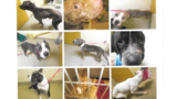Nine pit bulls removed from Va. home, found in cages living in their own feces