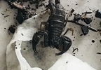 Pacific Northwest Forest scorpions found in container, brought to Keizer Fire District - Photo from Keizer Fire - 2.jpg