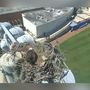 Check out this osprey nest above UF baseball stadium