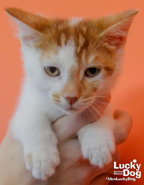 Baine is looking for his forever home! This adorable orange and white kitten with distinctive face markings is approximately 7 weeks old (as of 11/13), weighs 2 lbs (as of 11/13), is up-to-date on vaccines, and is FIV/FELUK negative. If interested in adopting Baine, contact Lucky Dog Animal Rescue (Lucky Dog Animal Rescue)<p></p>