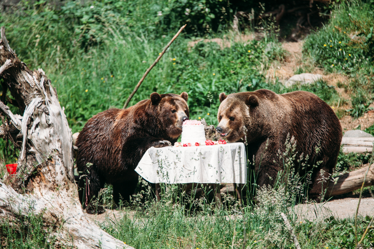 Woodland Park Zoo's Grizzly bears Keema and Denali brought wedding crashing to a  new level when they ransack a backyard wedding reception (with no human guests, of course) complete with décor and leftovers such as a ceremony arbor, a three-tiered wedding cake, watermelon fruit baskets, an ice sculpture and wrapped gifts. The grizzlies will reminded us what happens when food and garbage aren't stored properly in bear country. June 7th 2014. (Image: Joshua Lewis / Seattle Refined)