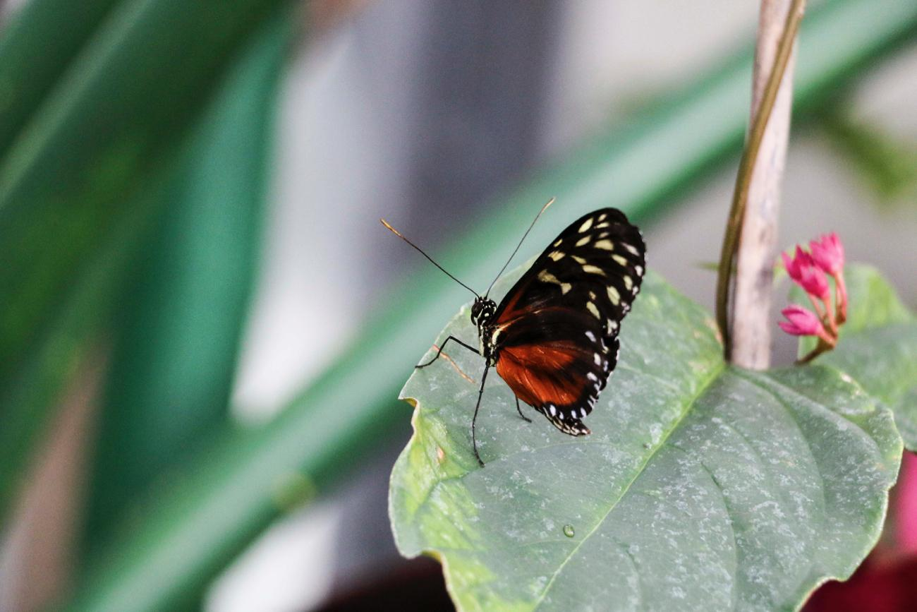 "The 2017 Butterfly Show, ""Majestic Monarch,"" runs March 26 through June 18 at Krohn Conservatory. Admission is $7 for adults, $4 for youth ages 5-17, and free for those under the age of 4. ADDRESS: 1501 Eden Park Drive (45202) / Image: Tommy Zipperstein // Published: 5.5.17"