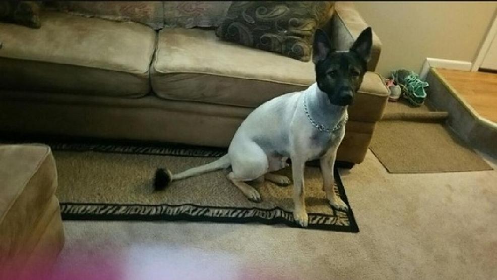 Dog Owner Upset After Groomers Shave Her German Shepherd Wtte