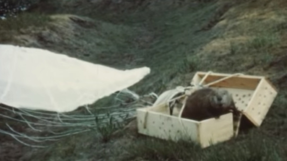 Watch missing footage of parachuting beavers found by for Idaho dept of fish and game