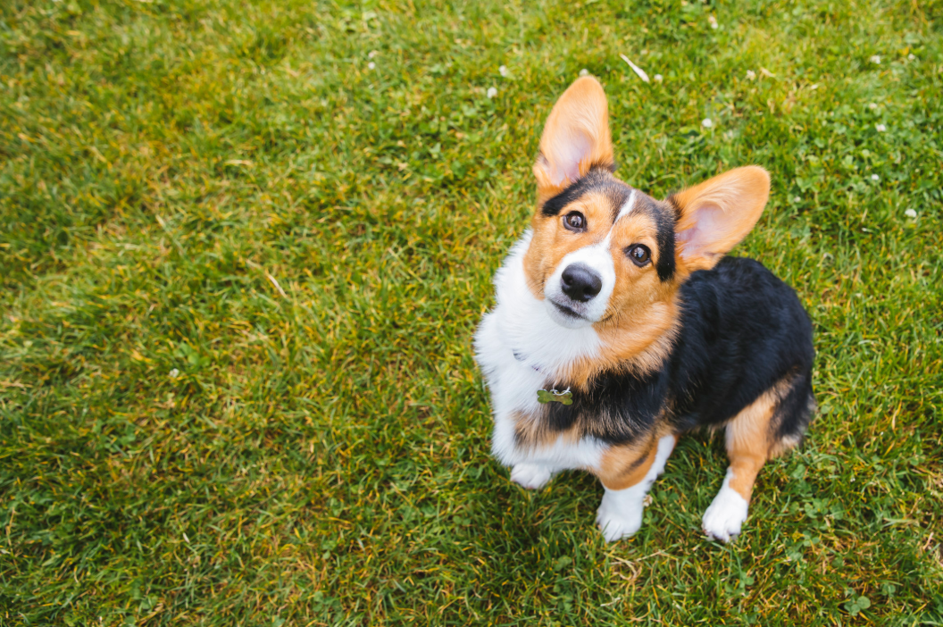 "Meet Jojo, the Pembroke Welsh Corgi. Jojo is a six month old baby whose life motto is, ""munch, munch, munch, munch, munch, walk, walk, walk, walk, walk."" Jojo likes people who say, ""Cute dog!"", other cute dogs, short walks on the beach, long naps in the sun, and the movie Sleepless in Seattle. She dislikes Seafair, kohlrabi and meanies. You can follow Jojo on instagram at @gogo.corgi.jojo. The Seattle RUFFined Spotlight is a weekly profile of local pets living and loving life in the PNW. If you or someone you know has a pet you'd like featured, email us at hello@seattlerefined.com or tag #SeattleRUFFined and your furbaby could be the next spotlighted! (Image: Sunita Martini / Seattle Refined)."