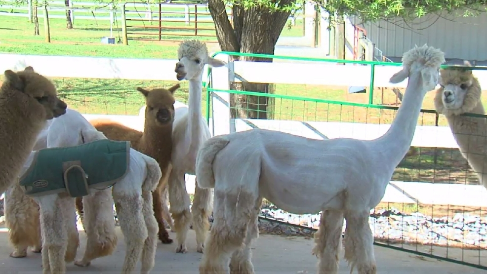A goode view alpaca farm hosts 3rd annual 39 alpaca shearing for Alpacas view farm cuisine