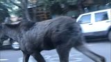 VIDEO: Moose caught in traffic in Aspen
