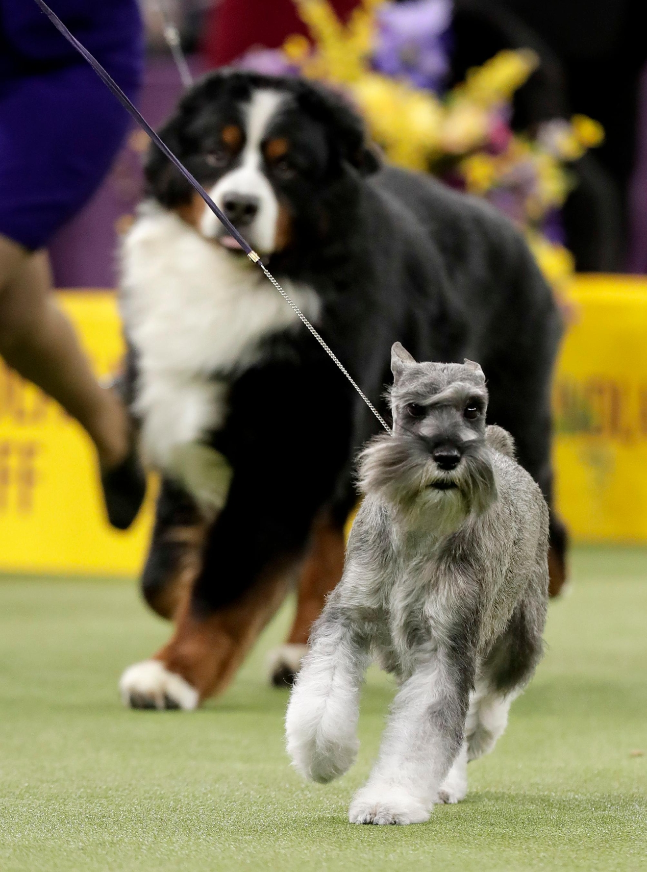 A standard schnauzer takes another lap around the ring during the working group competition at the 141st Westminster Kennel Club Dog Show, Tuesday, Feb. 14, 2017, in New York. (AP Photo/Julie Jacobson)