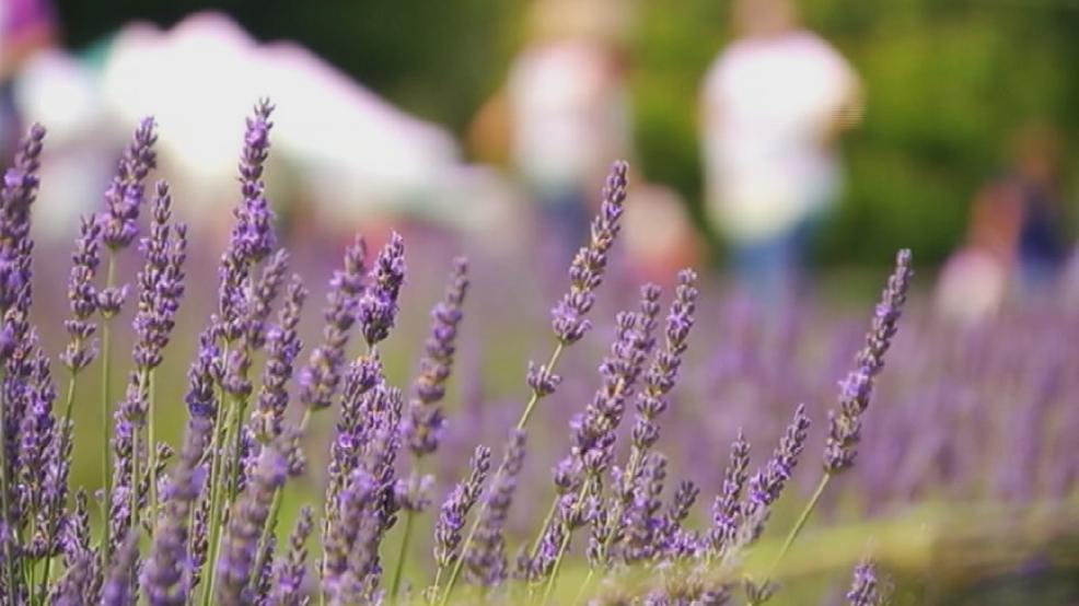 Wet weather cancels season at Skaneateles Lockwood Lavender Farm
