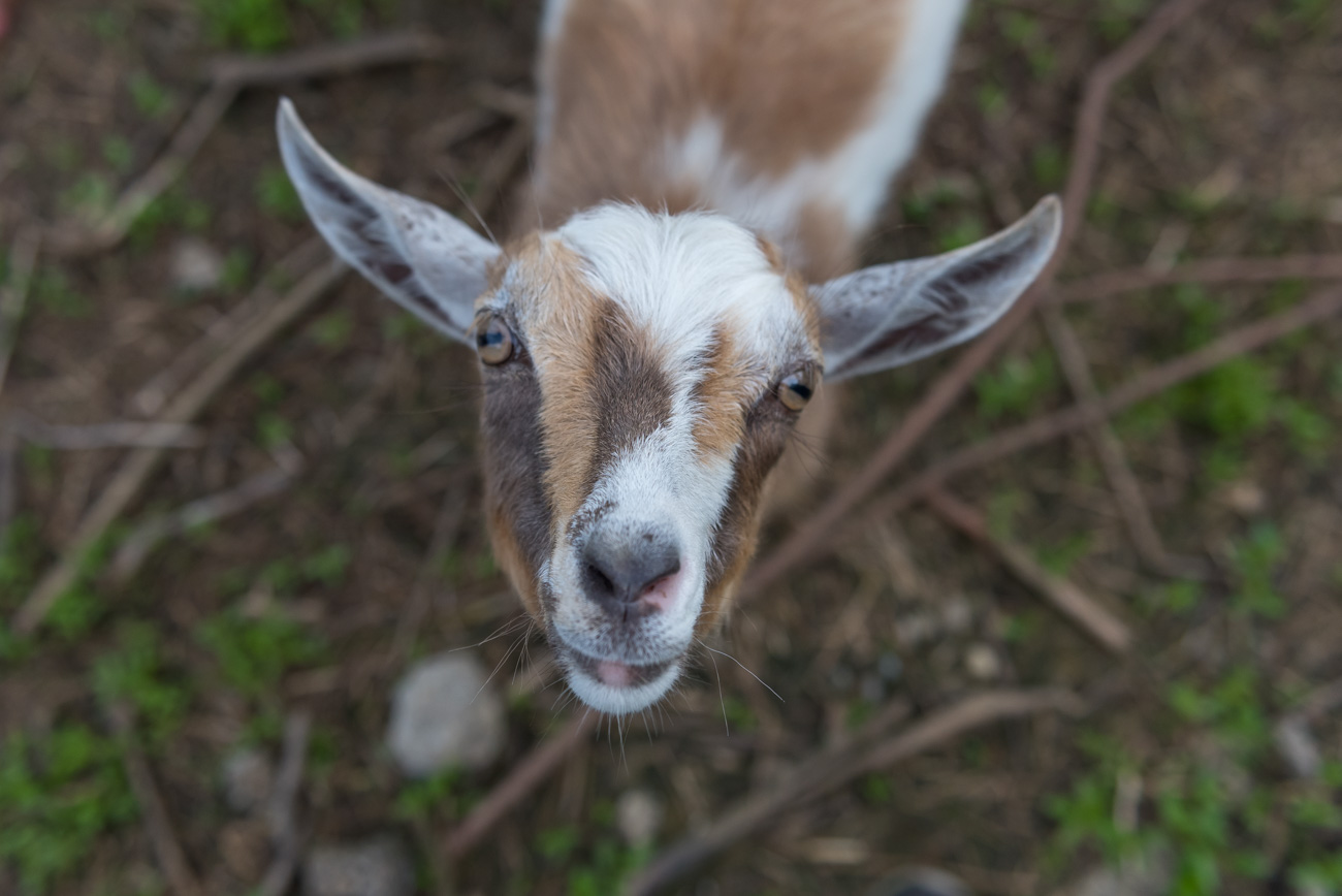 The farm also has baby goats that love to say hello. / Image: Mike Menke{ }// Published: 6.6.19