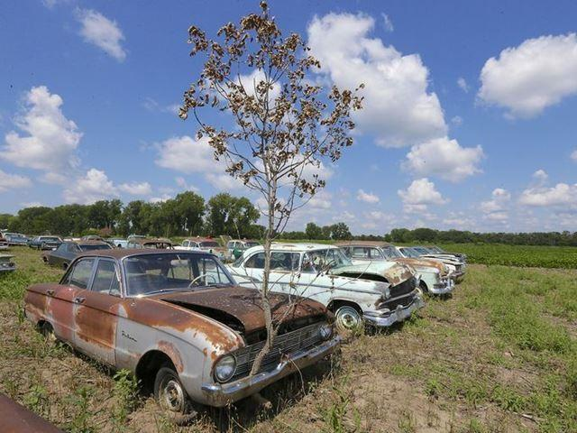 A few of the vehicles are not Chevys. Here a tree grows through the bumper of a 1962 Ford Falcon. The vehicles were auctioned in as-is condition.