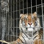 Bay County deputies discover 8 Bengal tigers in semi crash