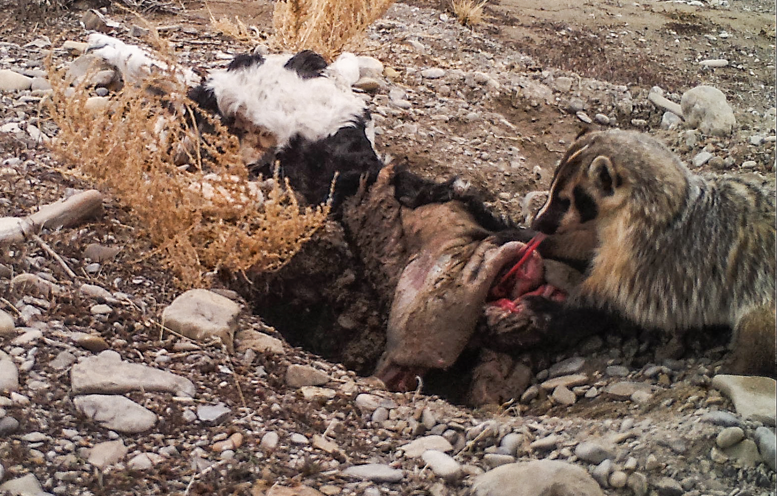 Badger buries cow carcass, discovering previously unknown behavior. (Courtesy Evan Buechley)