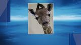 Illinois zoo holds contest to name baby giraffe