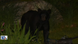 Bear sighting in East Greenwich backyard