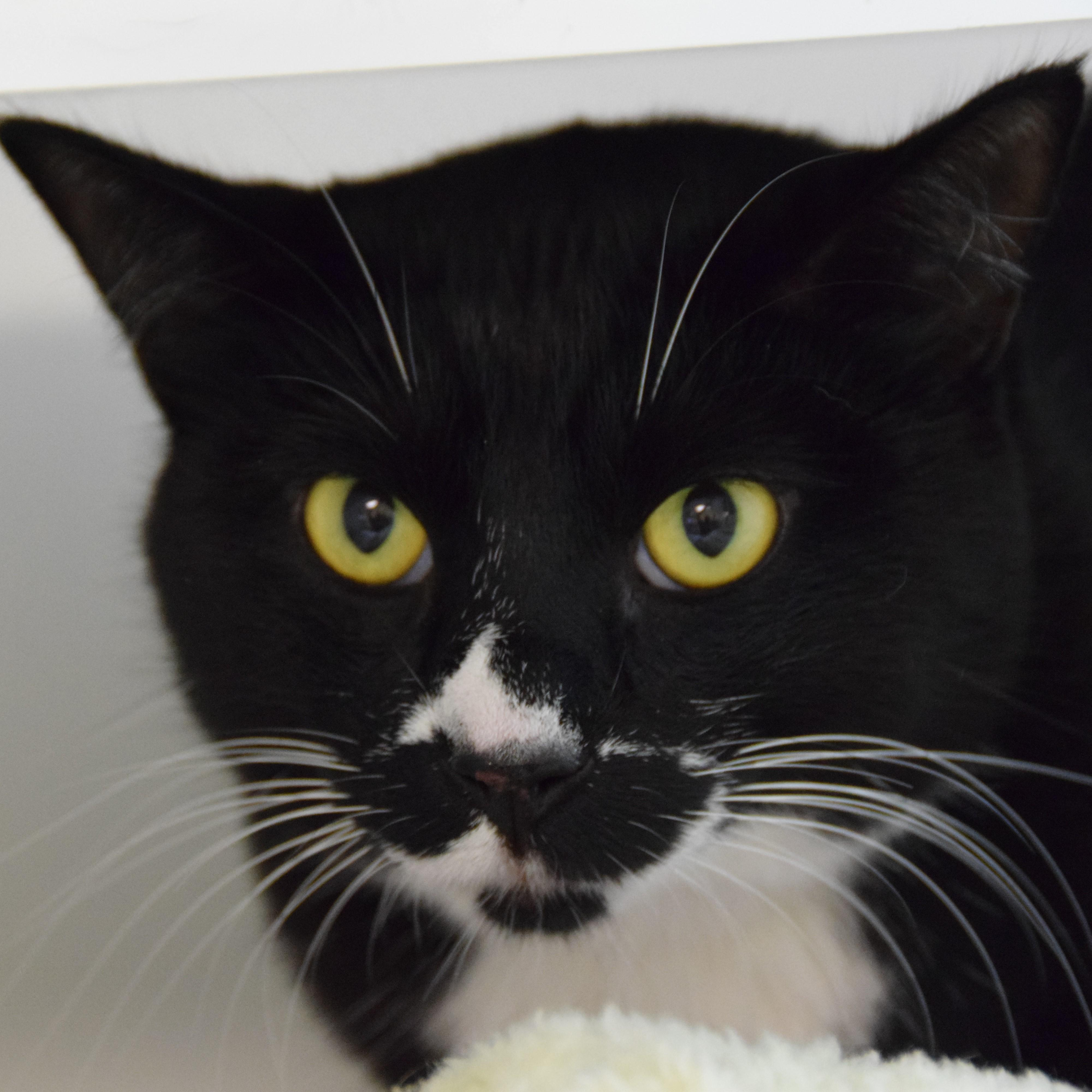 Active and charming, I'm Thomas - a handsome, two year old Tuxedo boy looking for a family to love! I've done well with other kitties before, but dog friends make me nervous so a home without them would be best for me. Playful and independent describe me to a T - I guess you could say I'm a great catch! Teens and adults would make ideal family members for me, and once acclimated, you'll see my bright and funny side shine. Can I warm your heart and home?