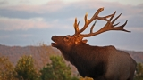 Fifth permit for 2016 elk hunt to be auctioned on eBay, July 28-August 7