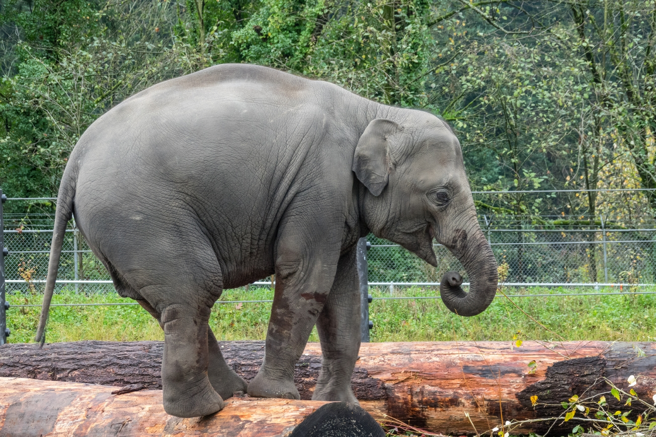 Bien connu Oregon Zoo elephants use recycled logs to play, cuteness ensues | KATU CM88