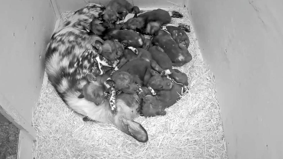 Oregon Zoo Hears A Whoo African Painted Dog Pups Begin Making