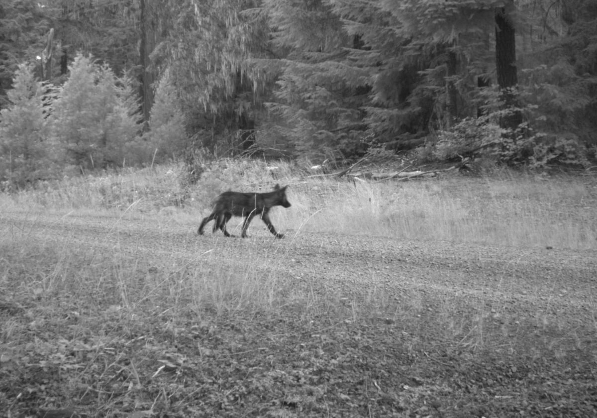 Wildlife cameras in the Rogue River-Siskiyou National Forest have confirmed that OR-7 has sired at least two pups this year. Photo courtesy of U.S. Fish and Wildlife Service.