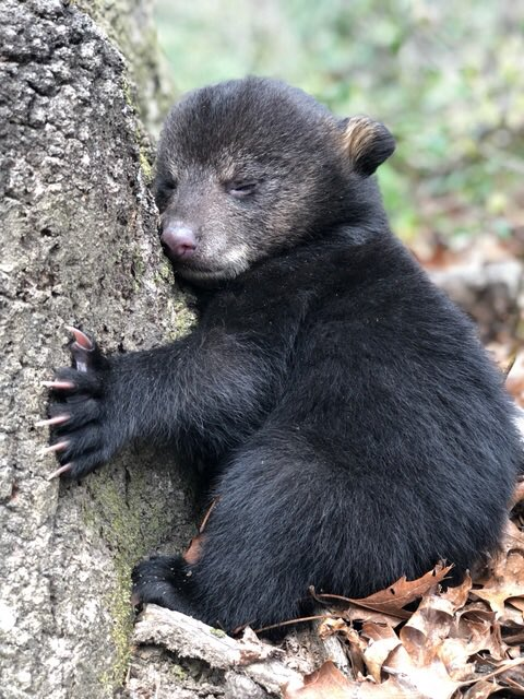 An abandoned bear cub is doing well after being found by a hiker and his dog on Easter Sunday.The cub will now be going to the Caswell Wildlife Depot for rehabilitation.Photo credit: Toby Jenkins