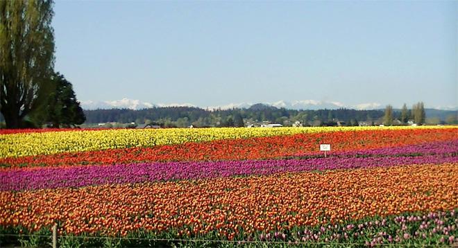 Tulips in Skagit valley -- Dwight Crews