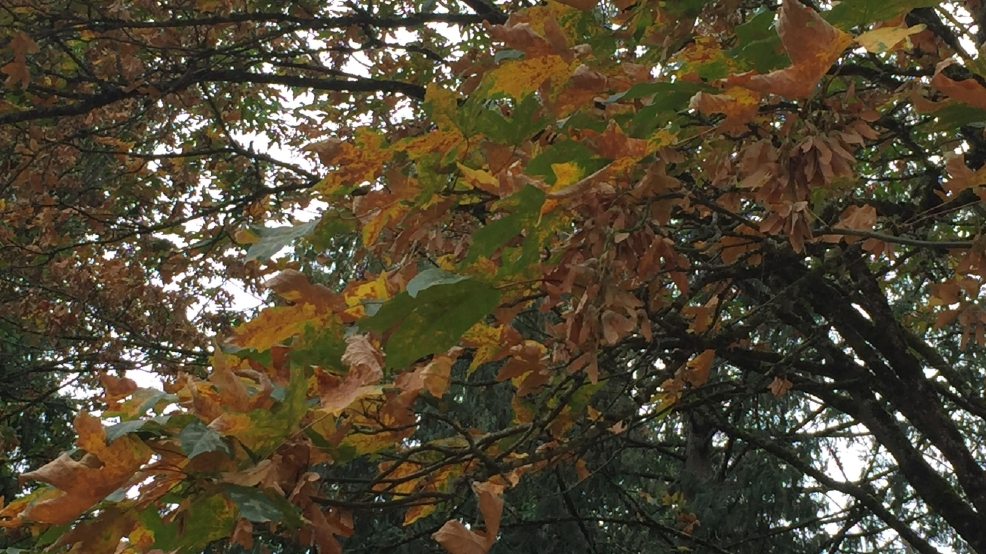 It's still summer, so why are 'autumn' leaves already falling?