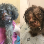 Poodle left for dead on the side of a road in Baltimore