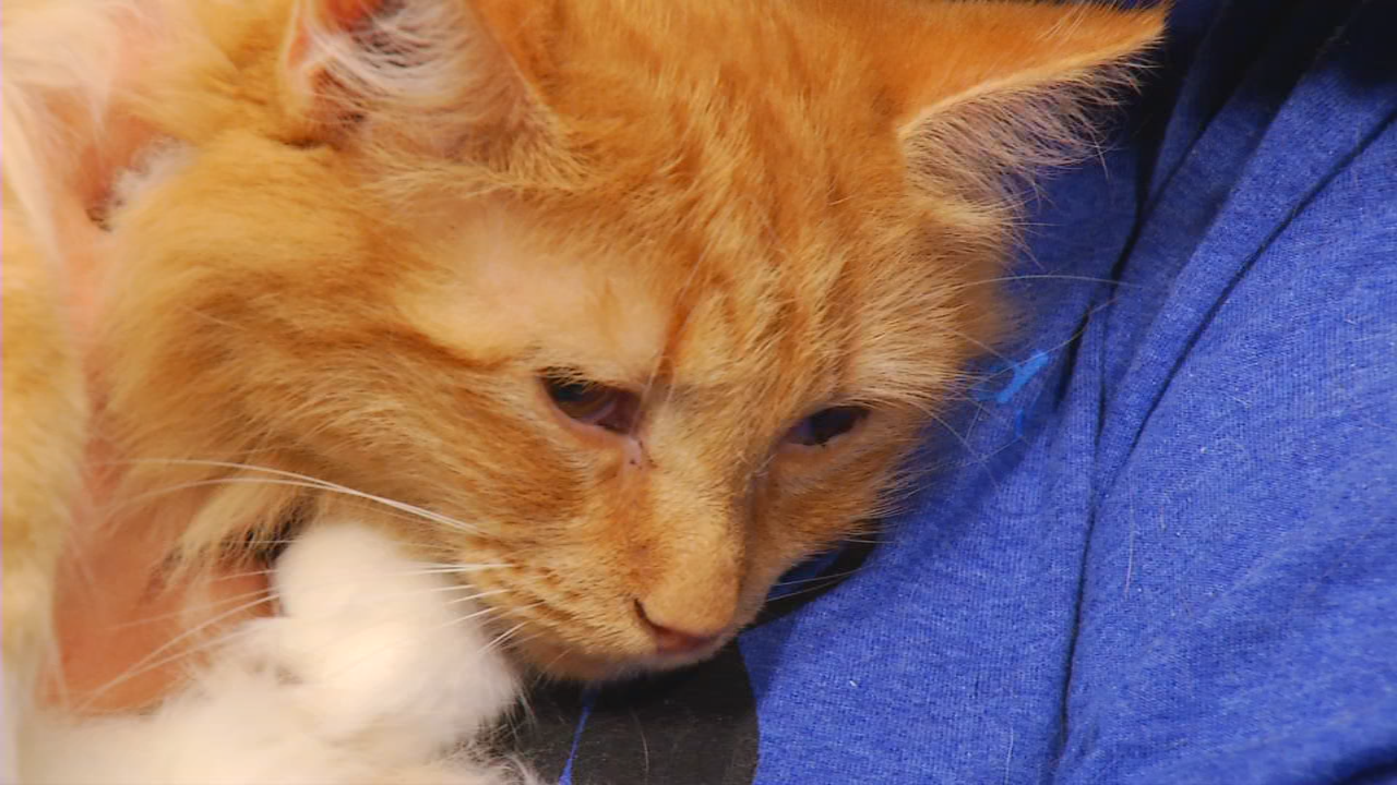 Emmy, an orange fur ball, is adoptable from FurEver Friends.  (Photo credit: WLOS staff)