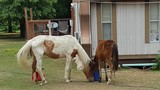 Starving horses rescued in Wagoner County, to be put up for adoption when healthy