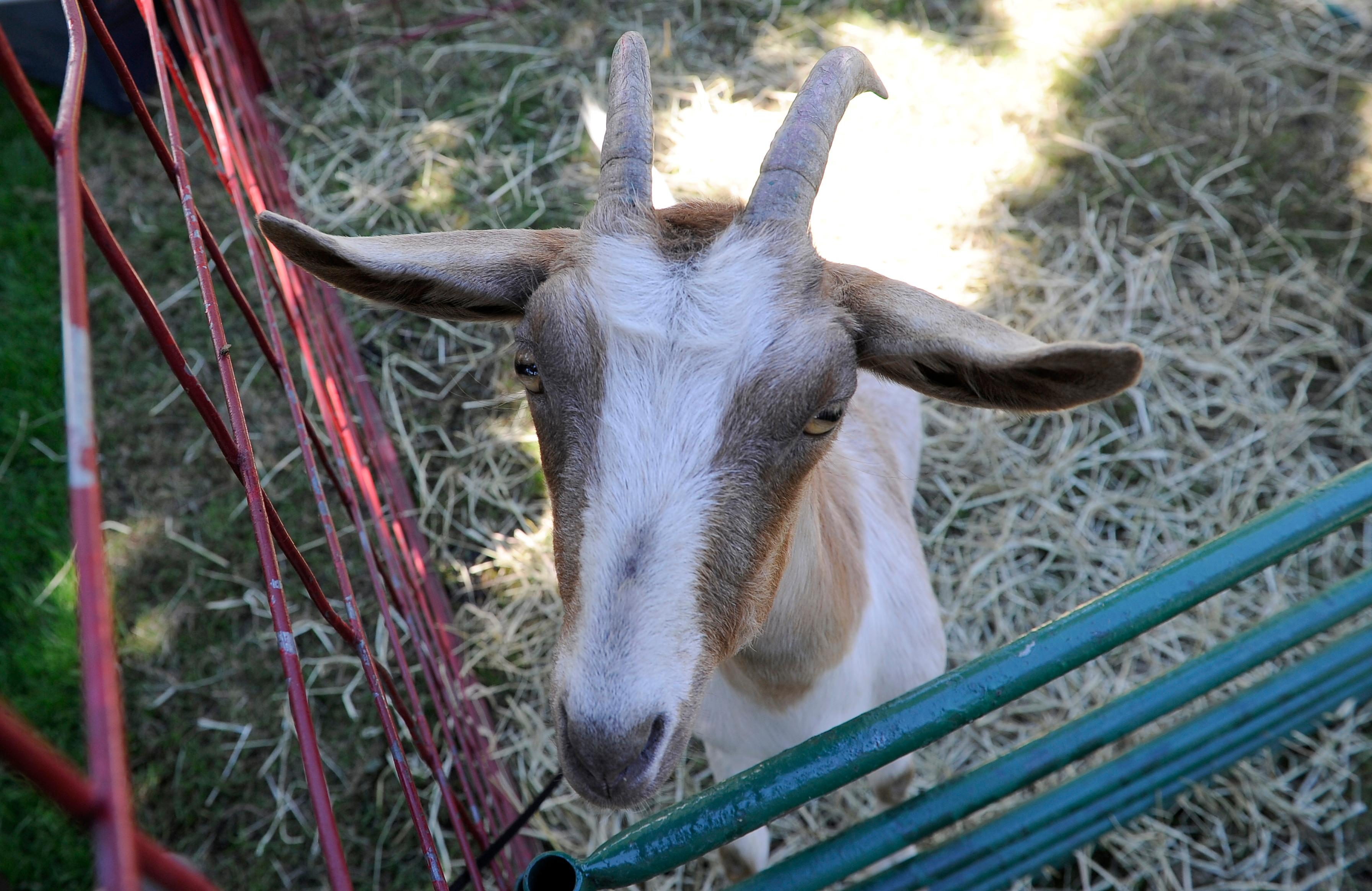 Andy Atkinson / Mail Tribune<br>A goat says hi to the camera at the Jackson County Fair Tuesday afternoon.