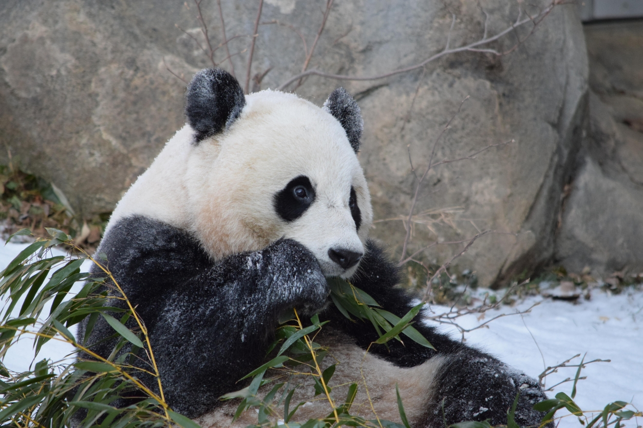 January 21, 2016 (Image courtesy of Devin Murphy, Smithsonian's National Zoo)