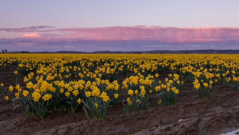 Where are the tulips? Cool spring messes with Skagit Valley's flower schedule